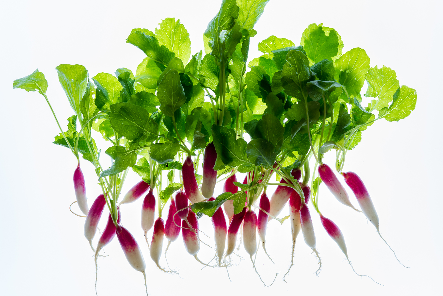 radishes-heirloom-bunch-white